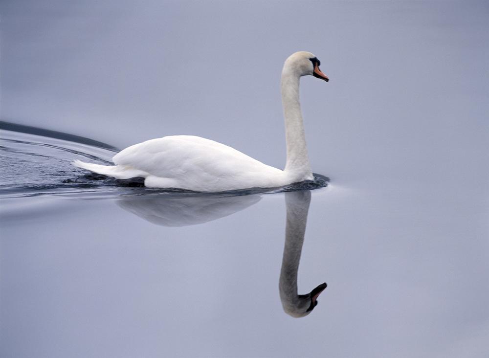 swan, Ireland