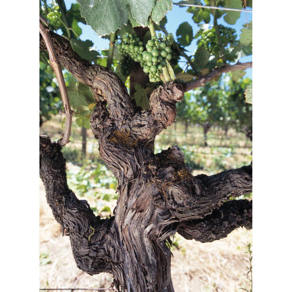 old vine, Lynmar