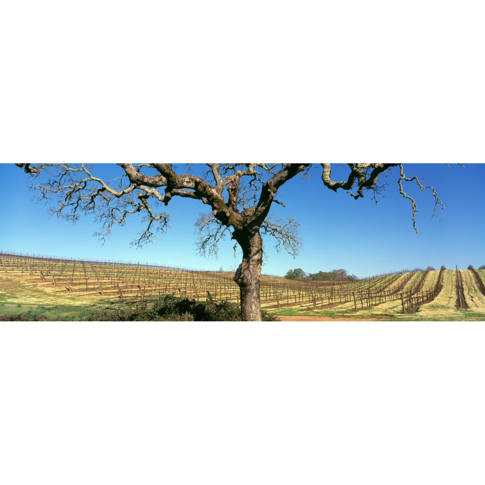 JWinery_Oak_VineRows_med-Edit.jpg