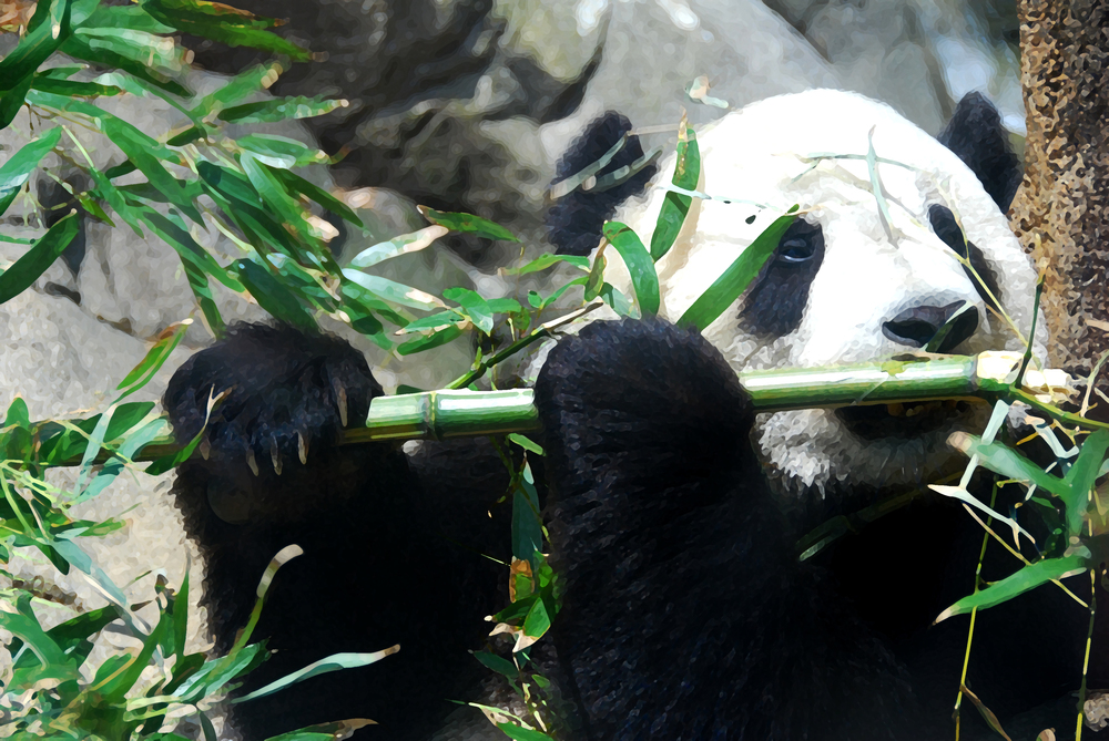 "Lunch time- Panda  24""x48"". Fine Art Photography on Plexiglas. & Printer's Proof Available 24""x48"" framed."