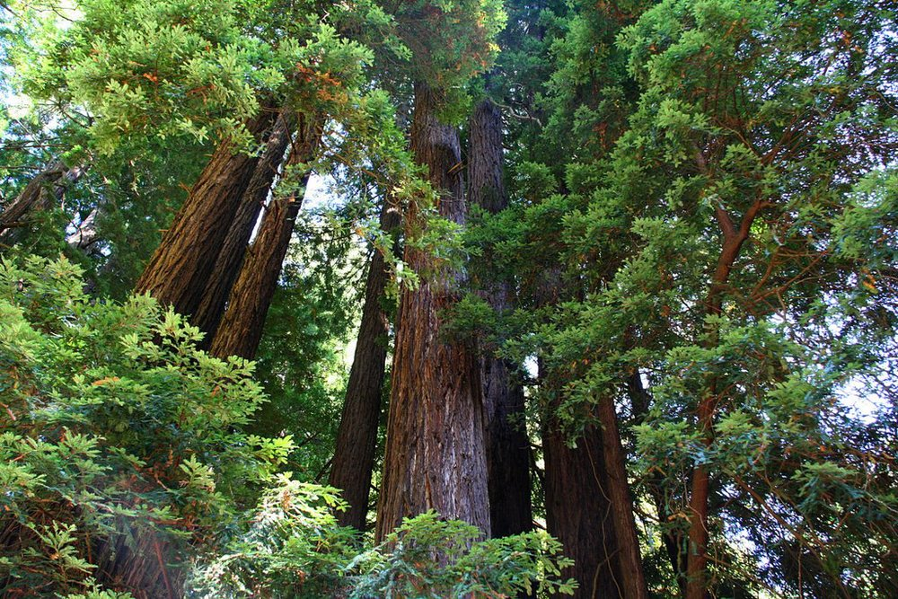 "Image via Google search for ""' Sequoia sempervirens' and while you're at it, hand me those divorce papers"""