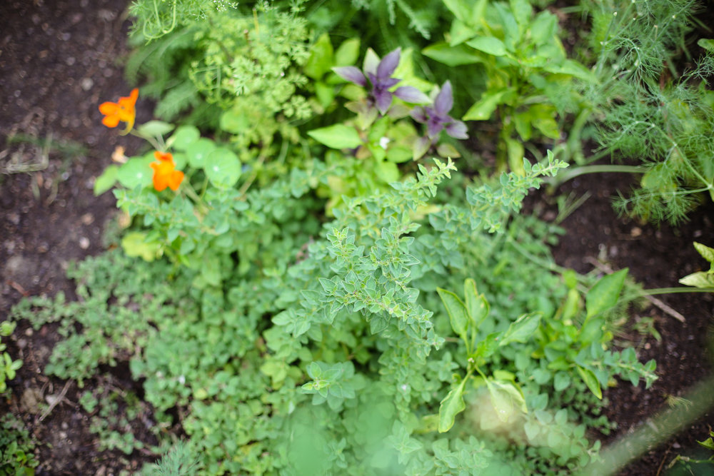 Italian oregano will quickly take over your garden if you let it! I've given parts of mine to all my gardening friends around town.