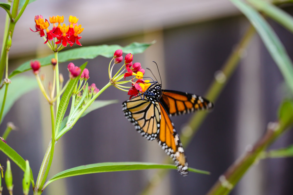Our first big day of Monarch migrators arrived October 13, 2017. This monarch is enjoying a tropical milkweed plant - ASCLEPIAS CURASSAVICA (other names include scarlet milkweed, Mexican milkweed, bloodflower, and silkweed)