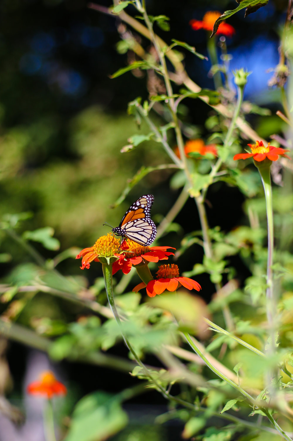 Monarch and Mexican Sunflower blooms