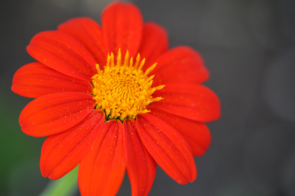 Mexican Sunflower up close and personal - Torch variety attracts pollinators the best. My sons smell their blooms and end up with yellow pollen noses.