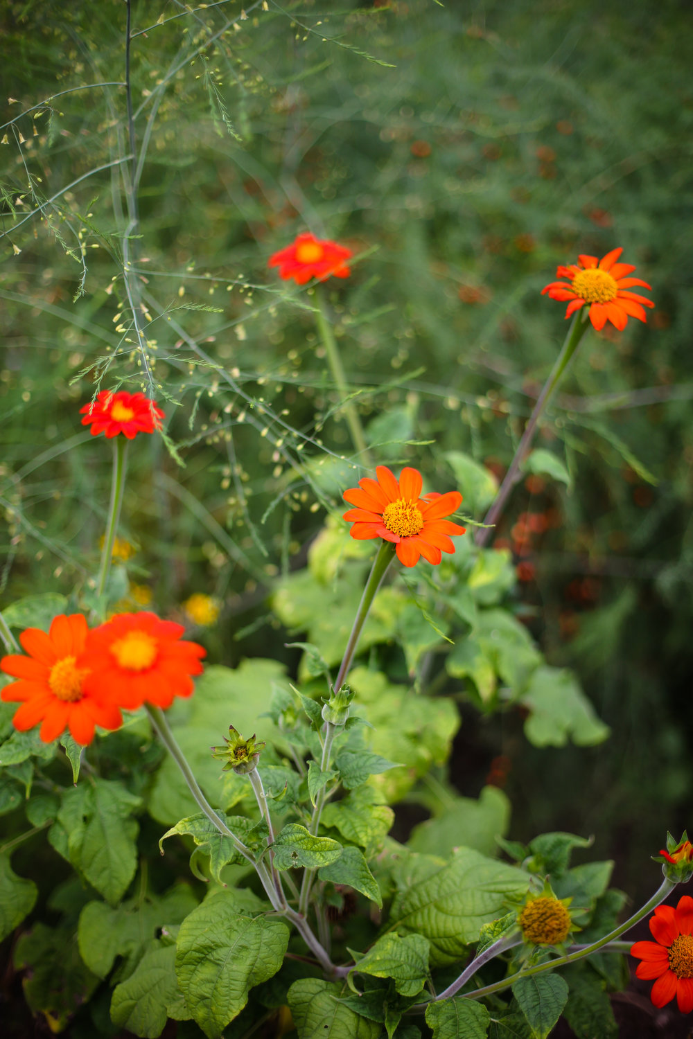 Mexican Sunflower Torch Variety