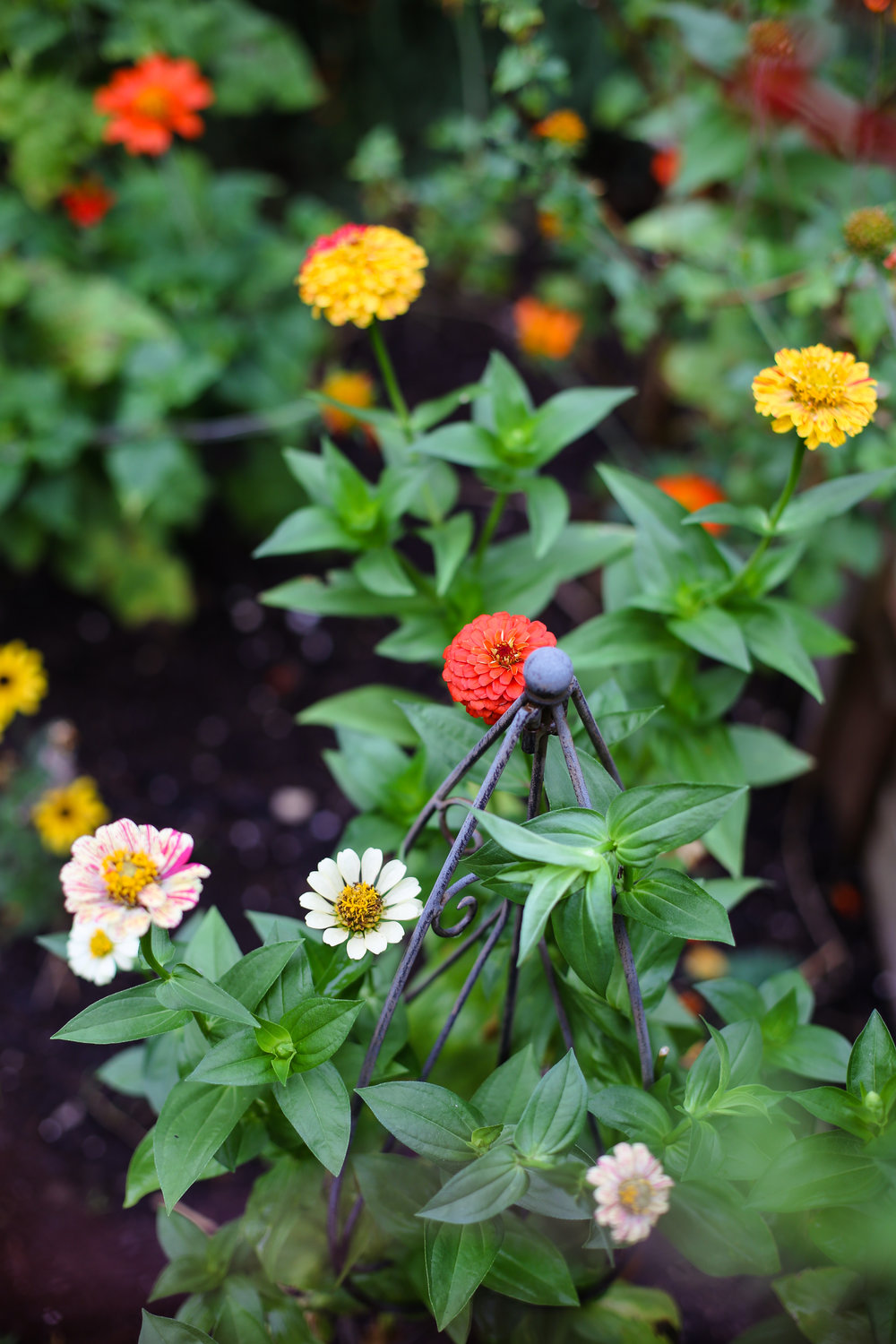 Zinnia - different varieties