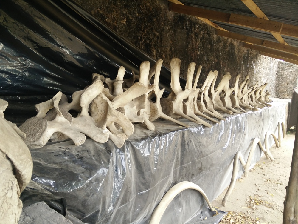 Vertebrae (on top of the table) and ribs of the whale below.