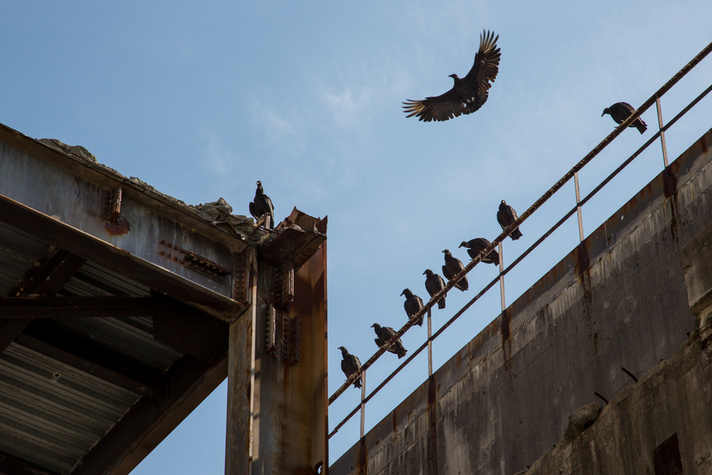 Vultures    |    Hartsville Nuclear Plant    |    Tennessee