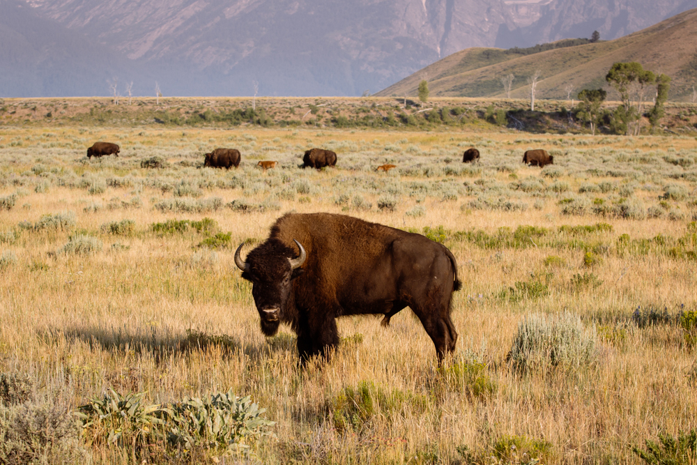 American Bison, Grand Tetons National Park