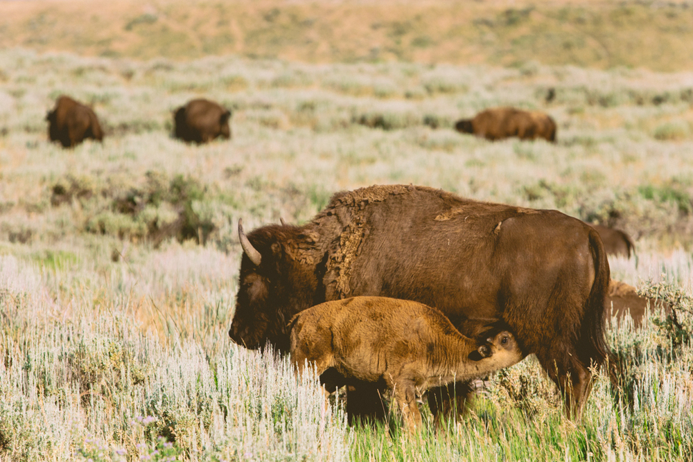 American Bison Nursing, Grand Tetons National Park