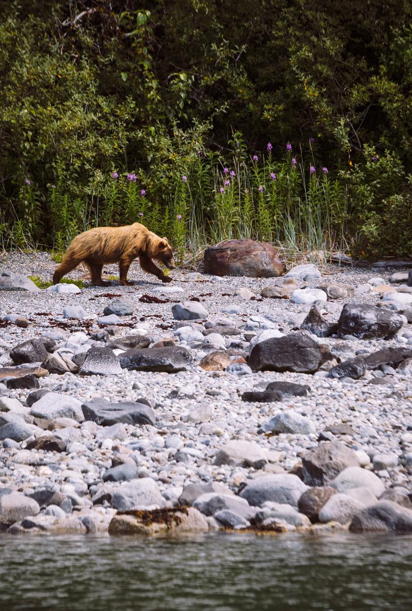 Grizzly Bear     Glacier Bay National Park     Alaska