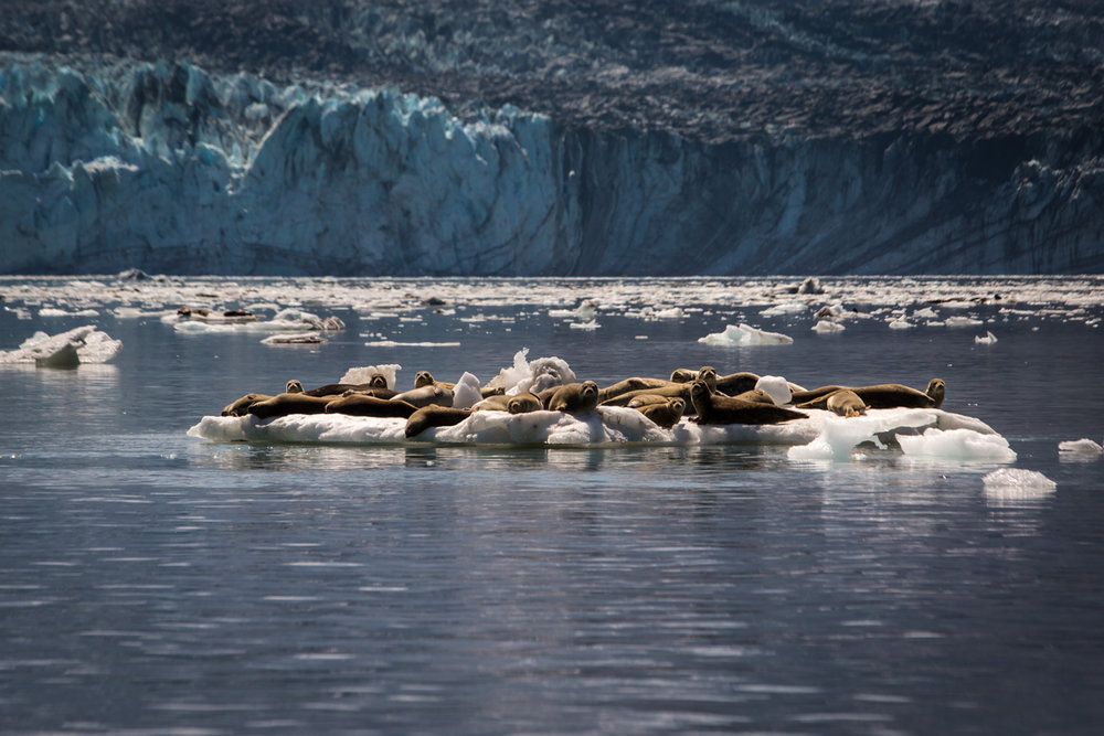 Harbor Seals     Glacier Bay National Park     Alaska