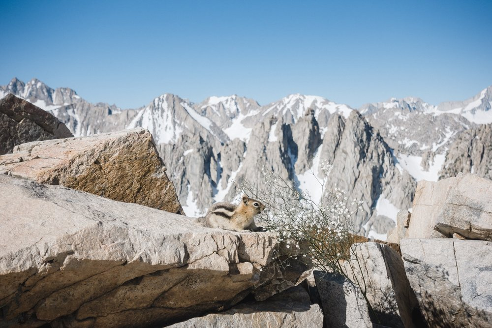 Chipmunk at the top of the Kearsarge Pass.