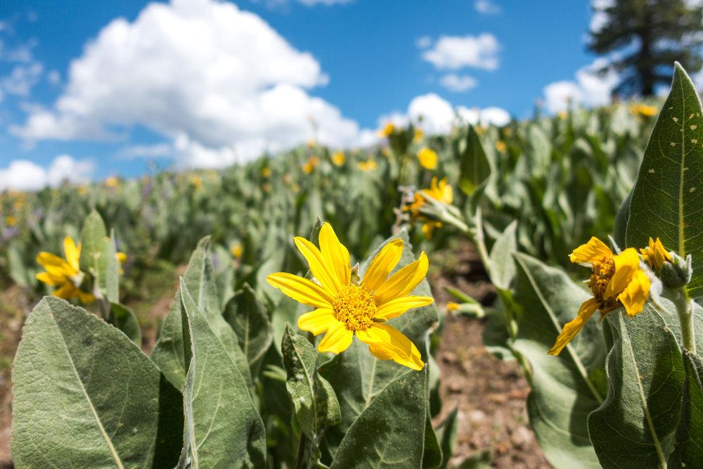 norcal-wildflowers.jpg