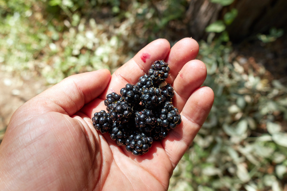 My first taste of blackberries.