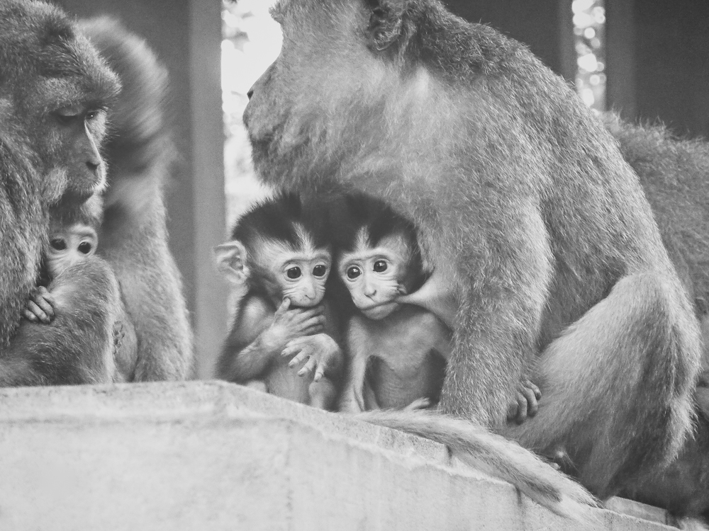 Baby monkeys feeding from their mother in Bali, Indonesia