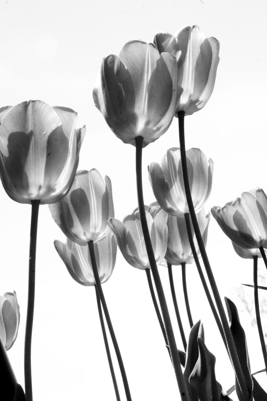Tulip 08 May 02.jpg