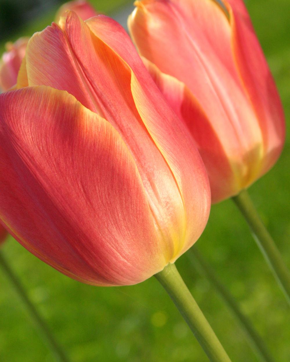 Tulip 2005 May-205.jpg