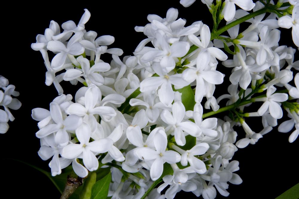 Lilac 2007 May-16.jpg