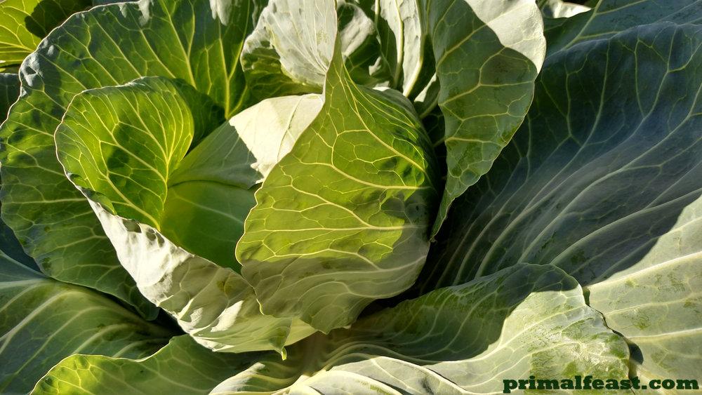 2015-1217-cabbage-003.jpg