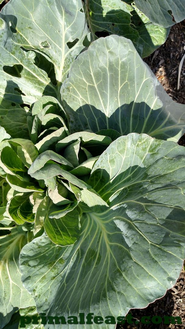 2016-0113-cabbage-001.jpg