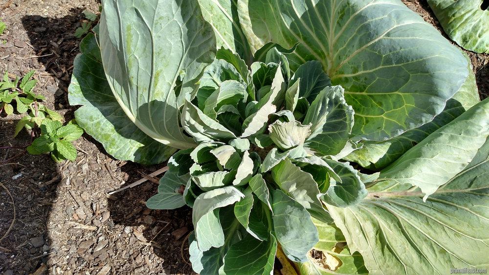 2016-0218-cabbage-garden-3-004.jpg