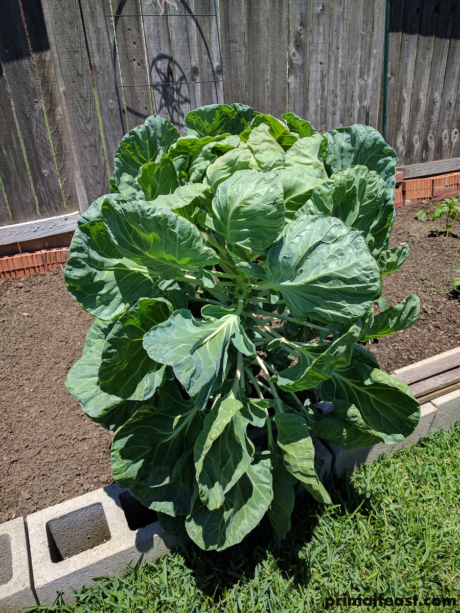 2017 0523 brussels sprouts 002.jpg