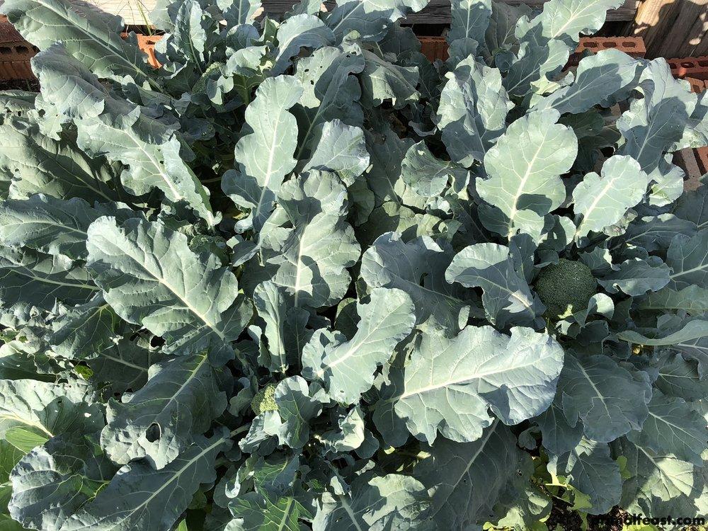 2017 1122 broccoli 001.jpg
