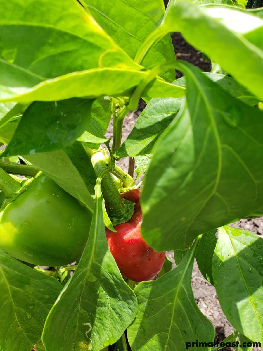 2018 0701 pimento pepper 002.jpg