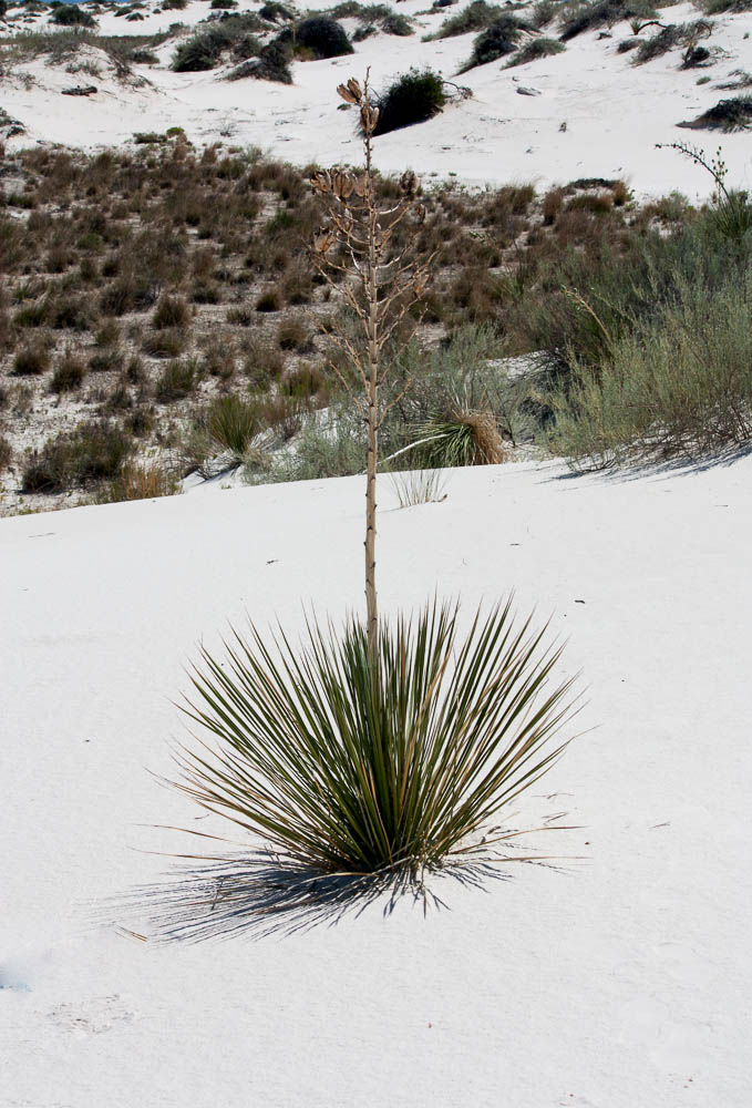 Yuca, White Sands, NM