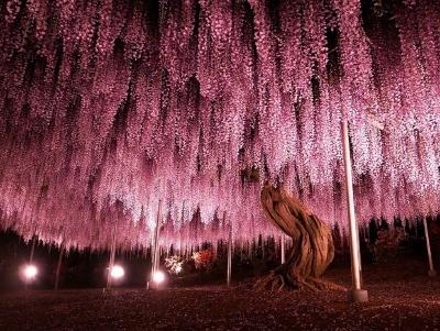 """Não são só as cerejeiras que roubam os olhares do japoneses. A maior Glicínia do Japão floresceu esta semana, fazendo a alegria de quem visitou o Ashikaga Flower Park, em Tóquio.  De acordo com  o site da """"Vogue"""",  o exemplar, uma videira, tem cerca de 144 anos e precisa de postes de metal para ser sustentado."""