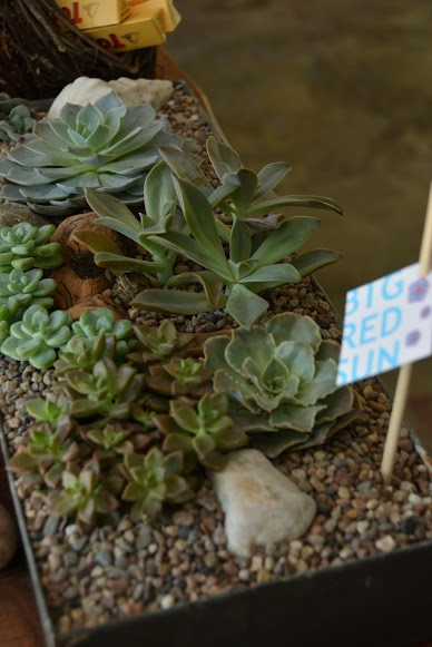 Succulent arrangements in Simon's are from Rose Ave. neighbor  Big Red Sun . ( Photo by Angelina Attwell )