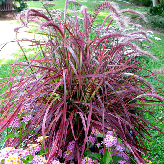 PURPLEFOUNTAIN GRASS - $18 EACH