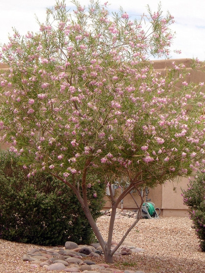 DESERT WILLOW - $200 EACH