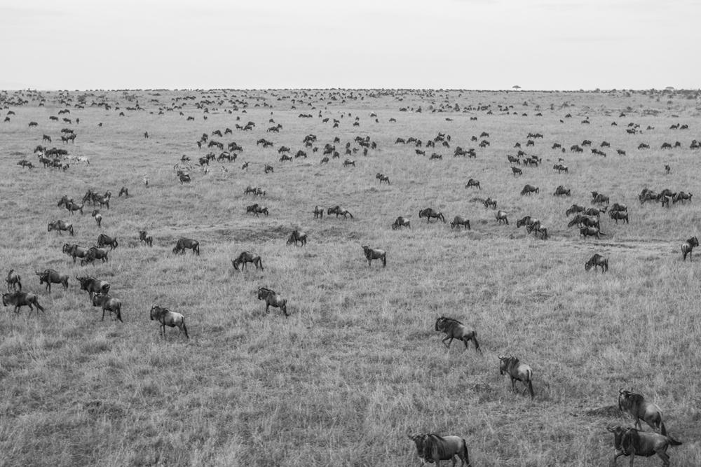 """""""Wildebeest"""""""