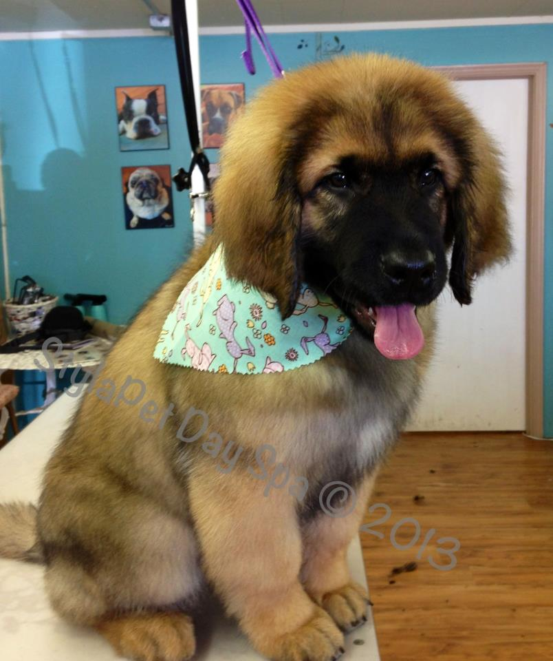 'Bear' Leonberger puppy