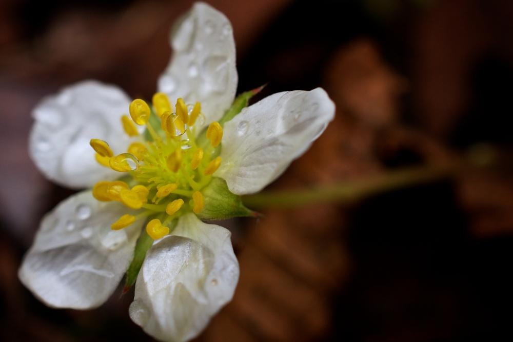 nature, plant, flower, wildflower, blossom, strawberry blossom, dew