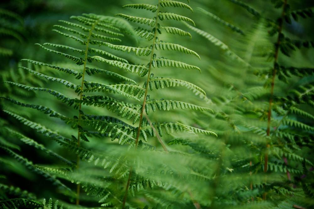 nature, plants, ferns, plantlife, flora