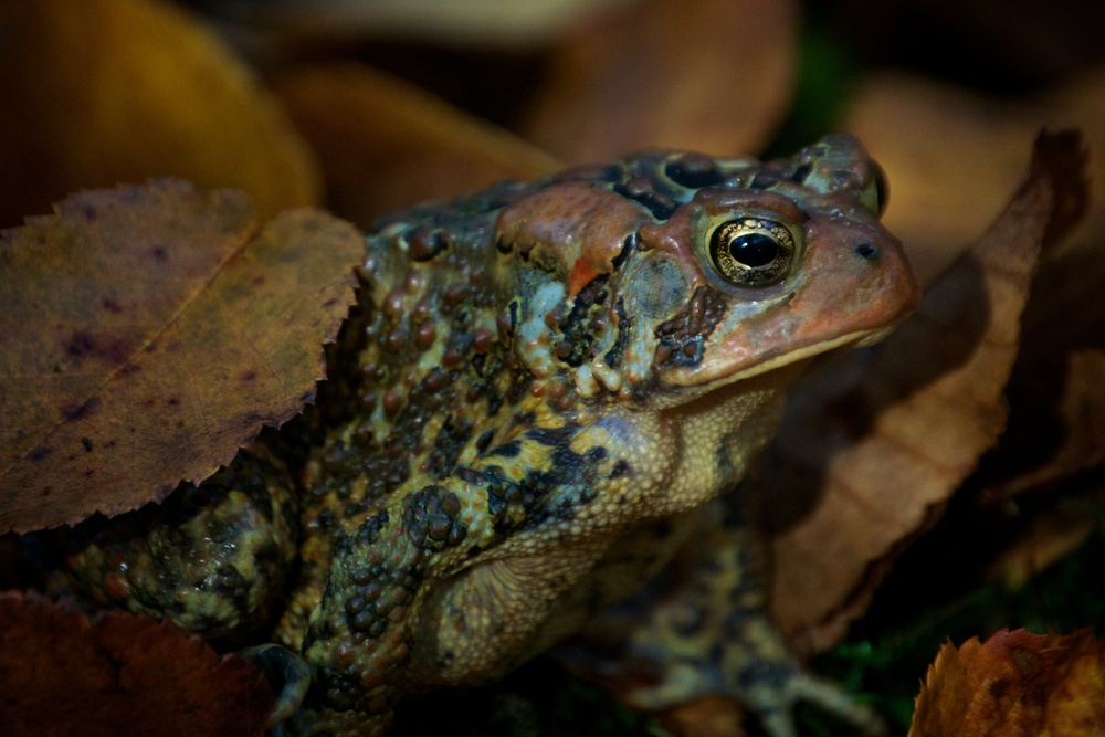 nature, wildlife, animal, amphibian, frog, toad, american toad