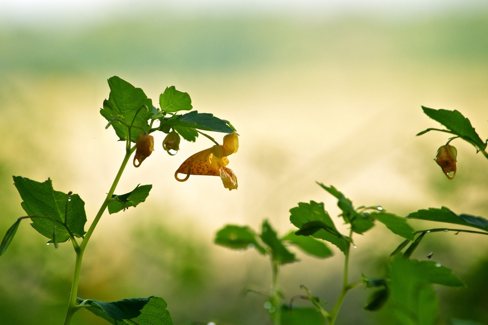 jug bay - orange jewelweed.jpg