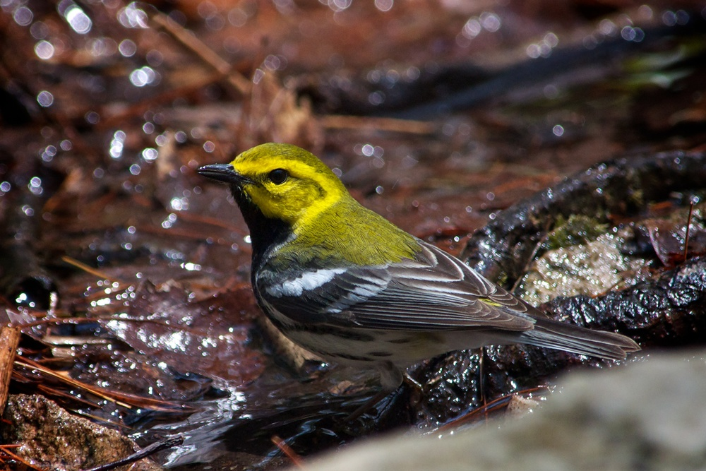 Black-throated Green Warbler 4.jpg