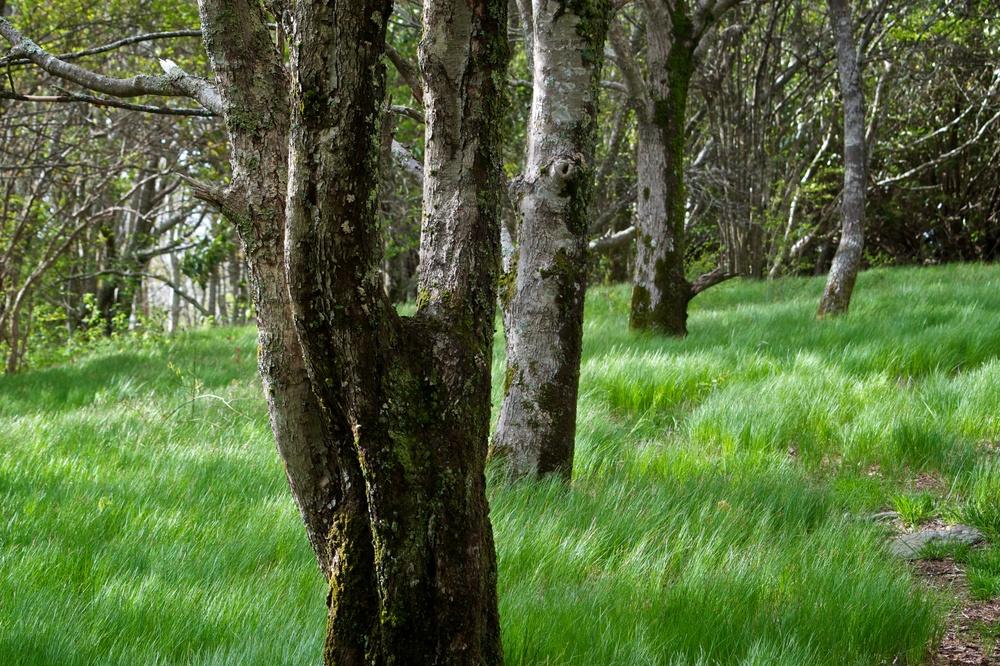 nature, landscape, tree, trees, spence field, appalachia, appalachian