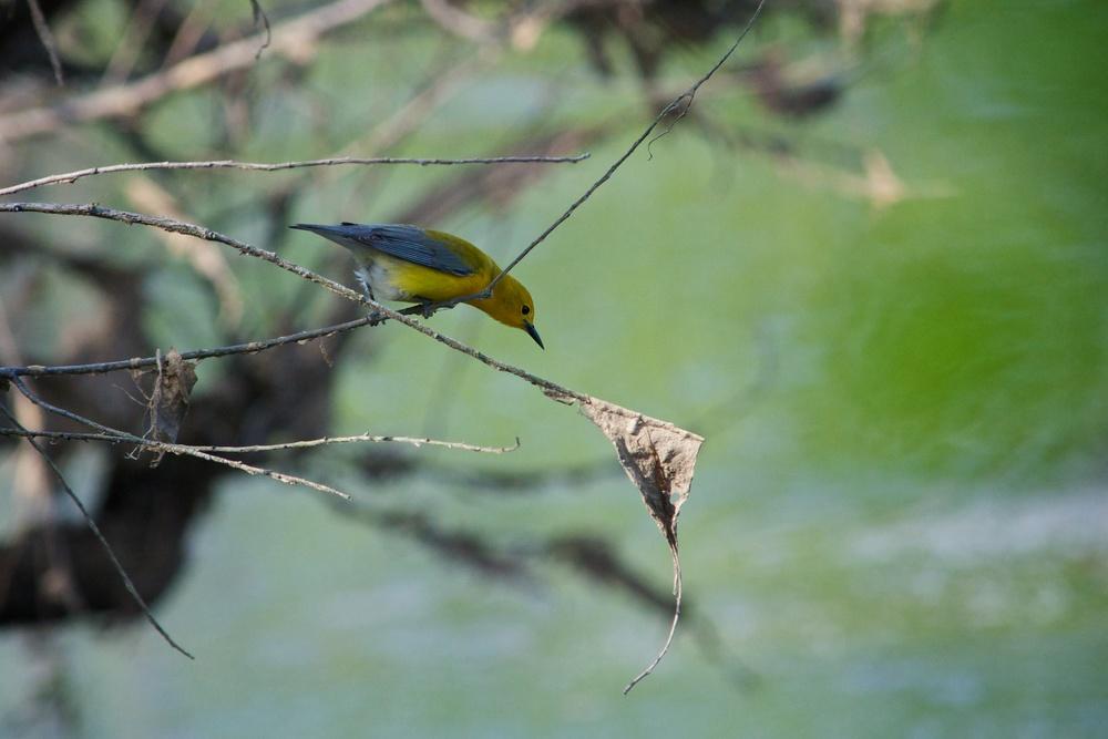 Prothonotary Warbler (5).jpg