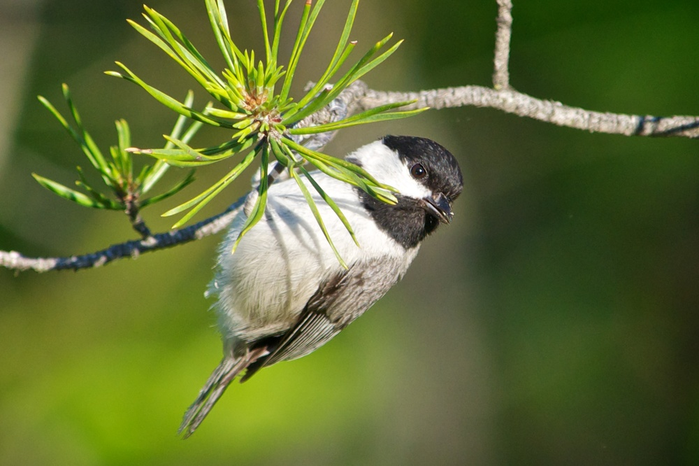 Black-capped Chickadee.jpg