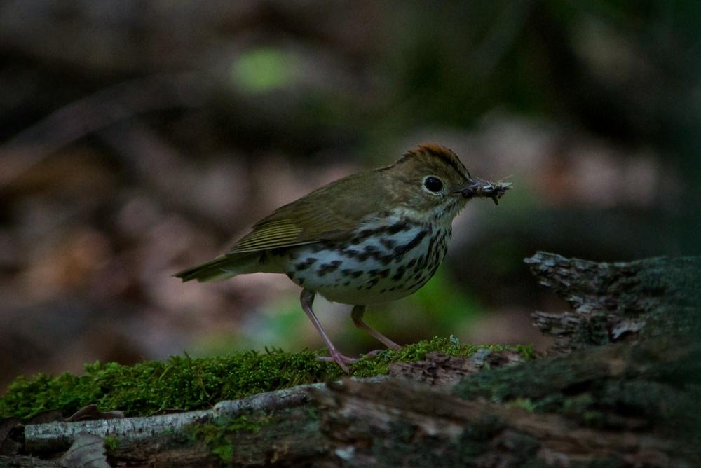nature, wildlife, animal, bird, warbler, ovenbird