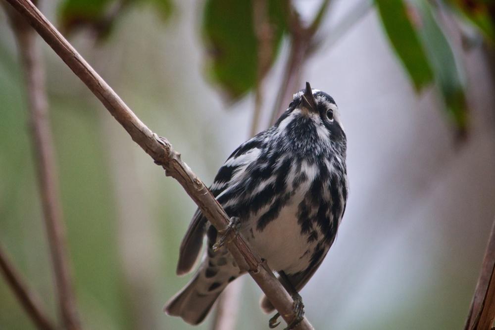 Black-and-white Warbler 3.jpg