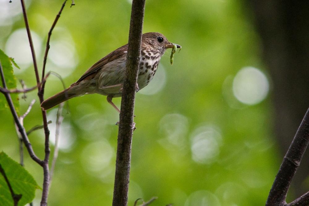 Ovenbird 2.jpg