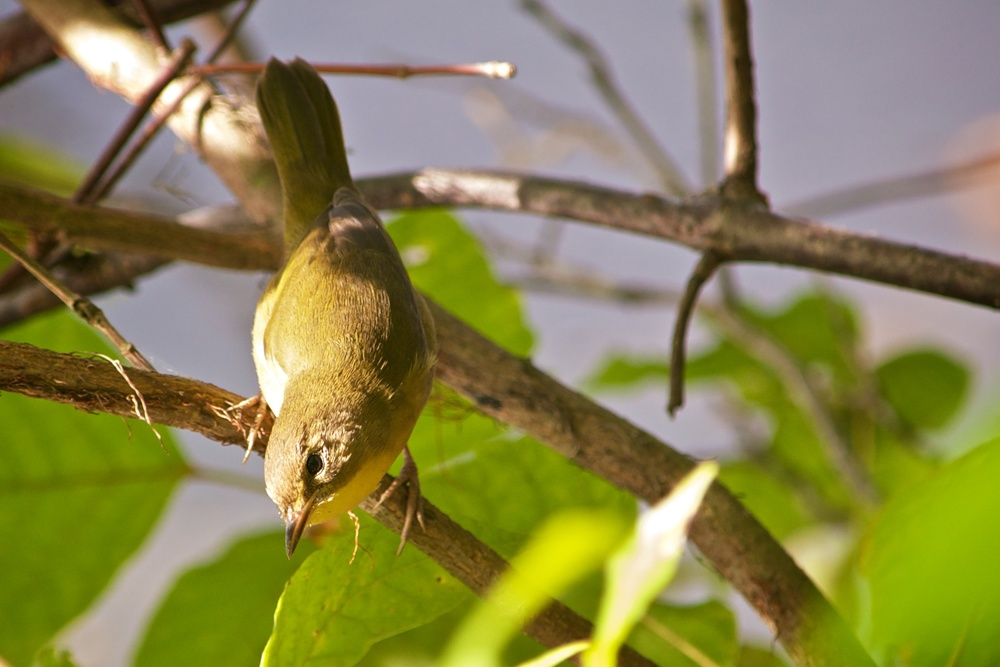 Common Yellowthroat 2.jpg