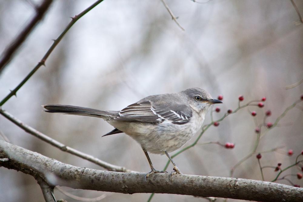 Northern Mockingbird.jpg